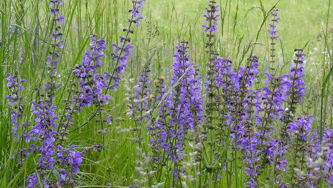 Salvia_pratensis