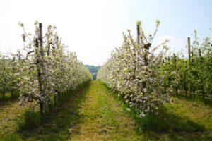 mele-piante