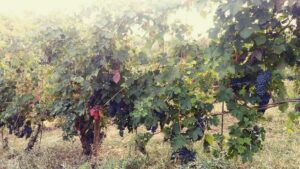 grappoli