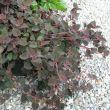 lysimachia-congestiflora