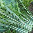 cicoria-selvatica-da-campo-a-foglie-1kg