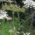 Angelica sylvestris 1