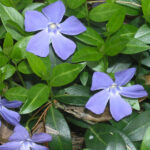 vinca-minor-ha-bpatterson