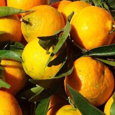 mandarini-bio-10-kg